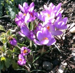 bees on crocus
